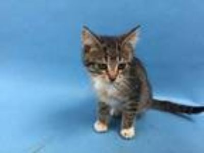 Adopt Ester a Brown or Chocolate Domestic Shorthair / Mixed cat in St.