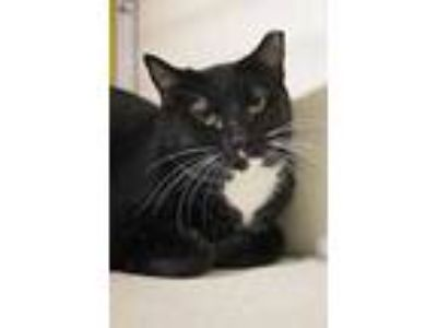 Adopt Portia a All Black Domestic Shorthair / Domestic Shorthair / Mixed cat in