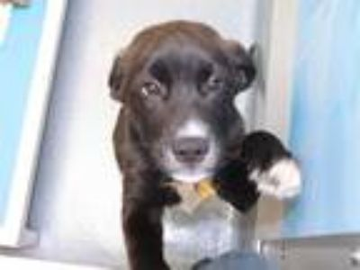 Adopt KARSON a Black - with White Labrador Retriever / Mixed dog in Maryland