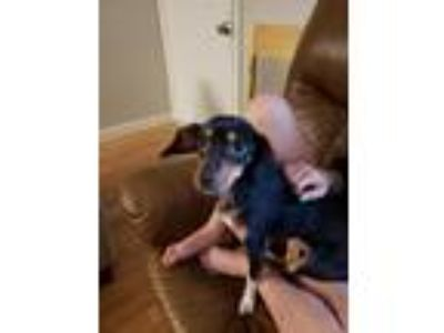 Adopt Sophia a Black - with Tan, Yellow or Fawn Beagle / Terrier (Unknown Type