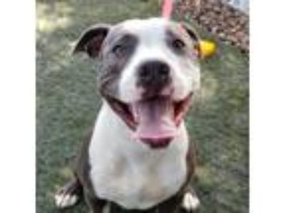 Adopt Chapo a Pit Bull Terrier