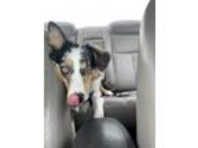 Adopt Louie a Tricolor (Tan/Brown & Black & White) Australian Shepherd dog in