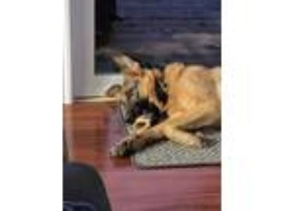 Adopt Mocha (Courtesy Post) a German Shepherd Dog