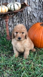 Goldendoodle-Poodle (Standard) Mix PUPPY FOR SALE ADN-102516 - Beautiful goldendoodle puppies ready Nov 1st