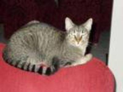 Adopt Luann a Tabby, Domestic Short Hair