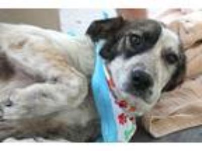 Adopt Salty a Australian Cattle Dog / Great Pyrenees / Mixed dog in McKinney
