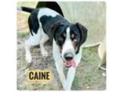 Adopt Caine a Pointer / Mixed dog in Ocala, FL (25872163)
