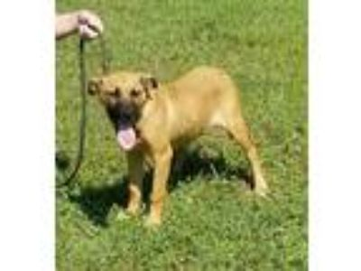 Adopt Letty a Tan/Yellow/Fawn - with Black Black Mouth Cur / Hound (Unknown