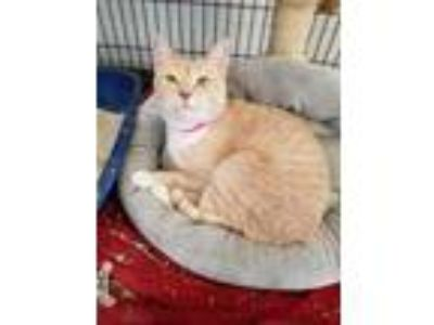 Adopt Lola a Domestic Shorthair / Mixed (short coat) cat in El Paso