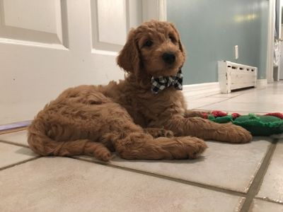 Goldendoodle PUPPY FOR SALE ADN-96482 - Goldendoodle Puppies Ready for their Forever Homes
