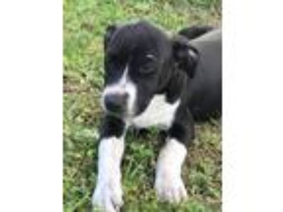 Adopt daisy/aka Mia a Black - with White American Pit Bull Terrier / Mixed dog