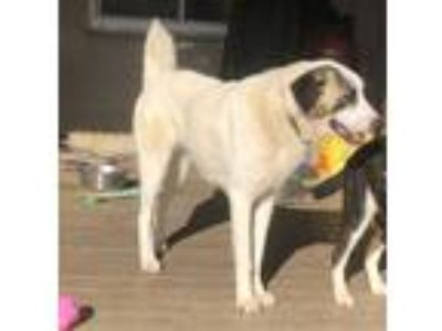 Adopt Molly a Anatolian Shepherd, Great Pyrenees