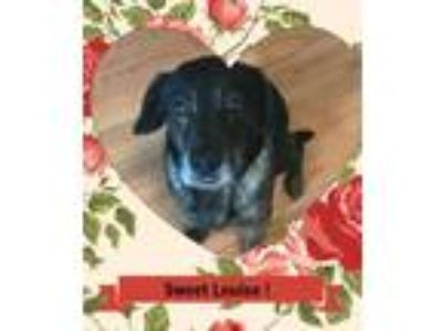 Adopt Louise a Black - with Gray or Silver Shepherd (Unknown Type) / Mixed dog