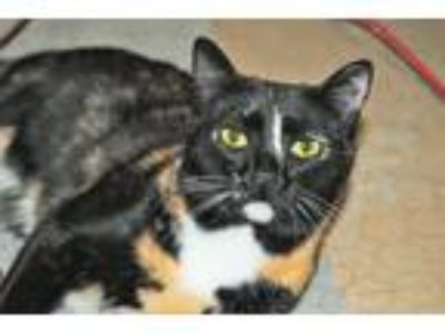 Adopt Sabrina a Calico or Dilute Calico Calico (short coat) cat in Phoenix