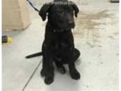 Adopt a Black Rat Terrier / Mixed dog in Conroe, TX (25477629)