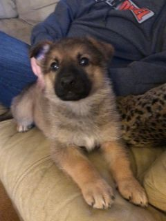 German Shepherd Dog PUPPY FOR SALE ADN-120342 - AKC German Shepherd puppies