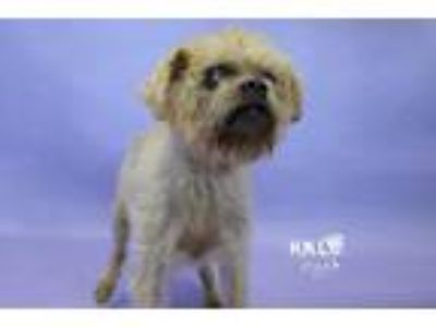 Adopt Sophie a Brussels Griffon