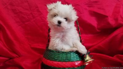 Cute Maltese Puppies text/ call (757) 790
