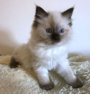 Female Ragdoll Kitten