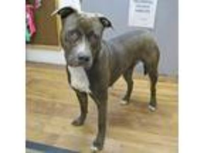 Adopt M & M a Gray/Blue/Silver/Salt & Pepper American Pit Bull Terrier / Mixed