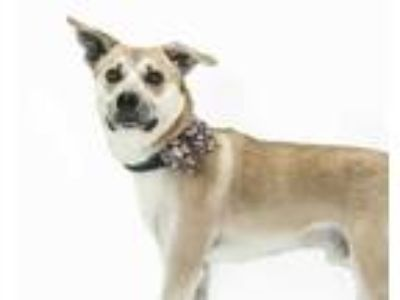 Adopt BLACKIE a Tan/Yellow/Fawn - with White German Shorthaired Pointer / Mixed