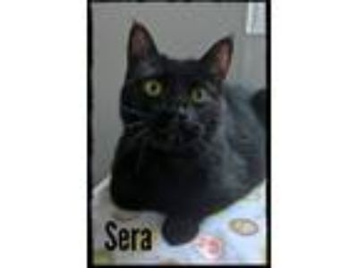 Adopt Sera a All Black Domestic Shorthair / Mixed cat in Brighton, MO (22416886)