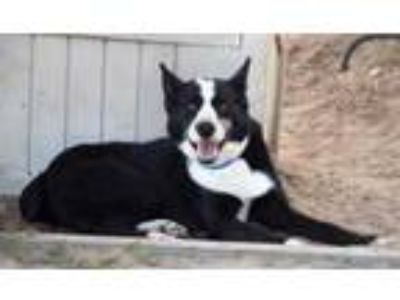 Adopt Pawsome a Black Border Collie / Mixed dog in Inverness, FL (25351606)
