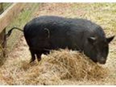 Adopt 10319232 a Pig (Farm) farm-type animal in Brooksville, FL (24962690)