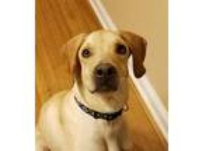 Adopt Gage a Tan/Yellow/Fawn Labrador Retriever / Greyhound / Mixed dog in
