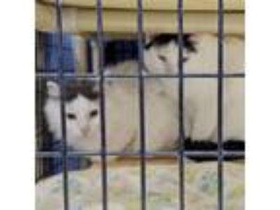 Adopt Barn Cats a Tabby, Domestic Short Hair