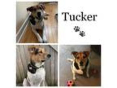 Adopt Tucker a Border Collie, Beagle