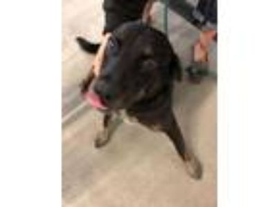 Adopt Plunk a Black Labrador Retriever
