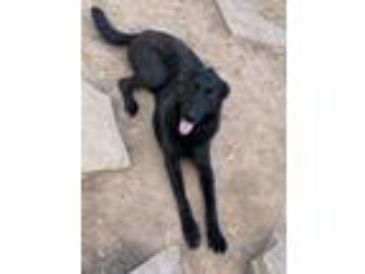 Adopt Ruger a Black Labrador Retriever / German Shepherd Dog dog in Hurricane