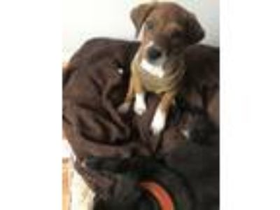 Adopt Magmar a Brown/Chocolate - with White Boxer / Labrador Retriever dog in