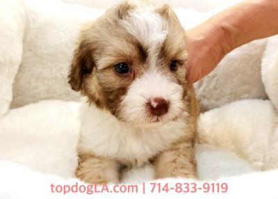 Cock-A-Poo PUPPY FOR SALE ADN-80394 - Cockapoo Female Whoopy