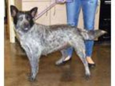 Adopt Found stray: Lucy a Australian Cattle Dog / Blue Heeler