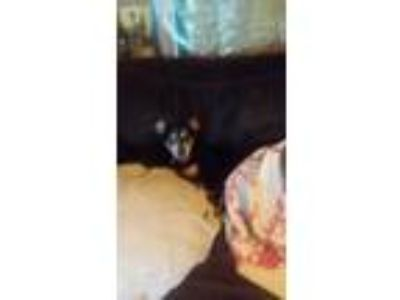Adopt Sky blu a Black - with Tan, Yellow or Fawn Miniature Pinscher / Mixed dog