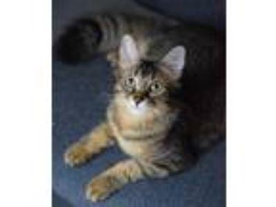Adopt Darlin' a Brown Tabby Domestic Mediumhair / Mixed (medium coat) cat in DFW