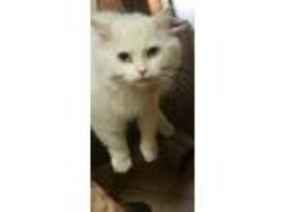 Adopt Kitty a Persian