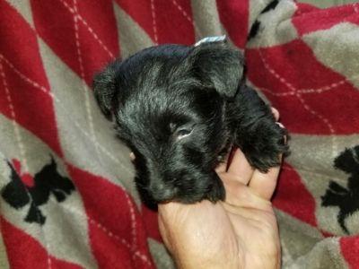 Scottish Terrier PUPPY FOR SALE ADN-74985 - scottish terrier puppies
