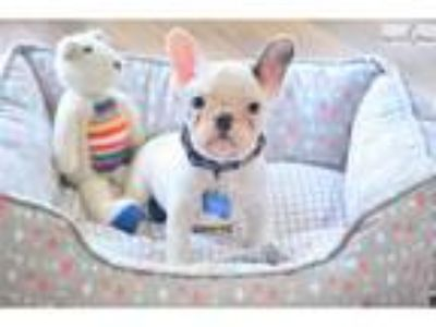 Poetic French Bulldogs Blue Pied Male Brigham