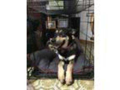 Adopt Maya a Black - with Brown, Red, Golden, Orange or Chestnut Husky / Mixed
