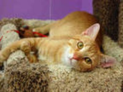 Adopt JUSTIN a Orange or Red Tabby Domestic Shorthair / Mixed (short coat) cat