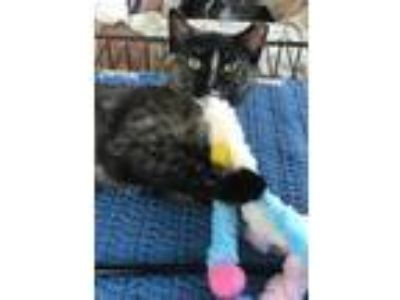 Adopt Hibou a Domestic Short Hair