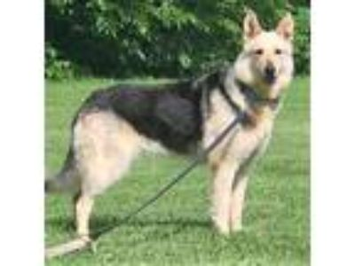 Adopt Bocco a Black - with Gray or Silver German Shepherd Dog / Mixed dog in