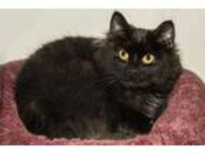 Adopt Emmy a All Black Domestic Mediumhair / Domestic Shorthair / Mixed cat in