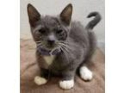 Adopt Heidi a Domestic Short Hair