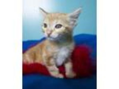 Adopt Ralph a Orange or Red Domestic Shorthair / Domestic Shorthair / Mixed