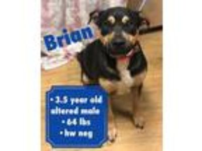 Adopt Brian a Black - with Tan, Yellow or Fawn Rottweiler / Mixed Breed (Medium)