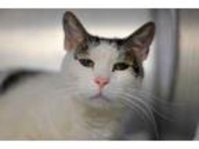 Adopt Monkey a White Domestic Shorthair / Domestic Shorthair / Mixed cat in